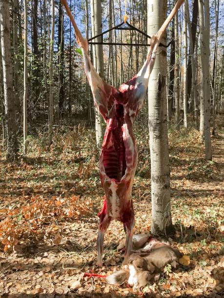 der frische kadaver eines hirsches mit sein fell auf dem boden hängen - entfernen von tierhaaren stock-fotos und bilder