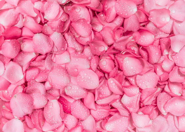 The fresh pink rose petal background picture id650616344?b=1&k=6&m=650616344&s=612x612&w=0&h=8n6g8ldt0qc45dt29j5ft9xmbrknrzyplj95mx9igxo=