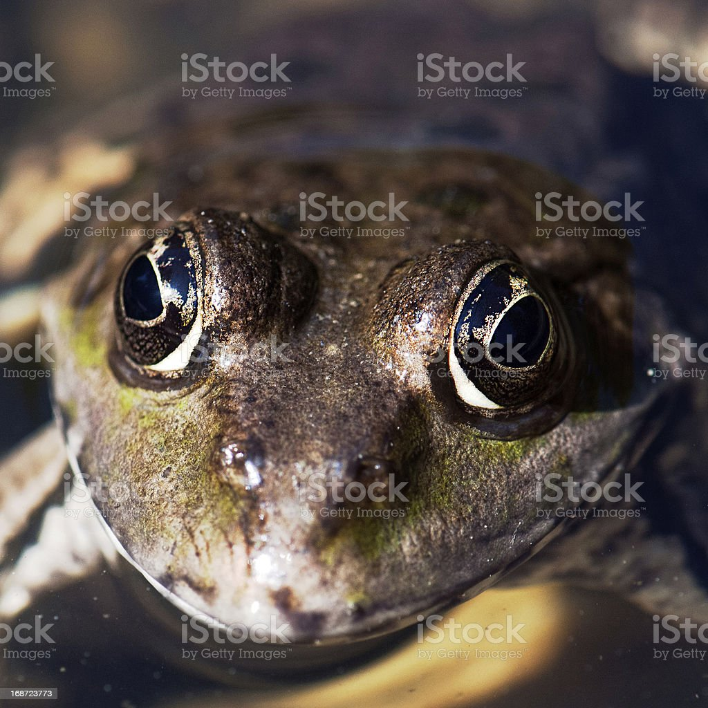 The frog face in watter royalty-free stock photo
