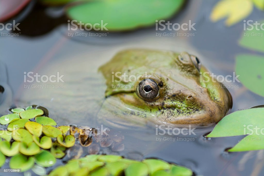 the frog in the pond stock photo