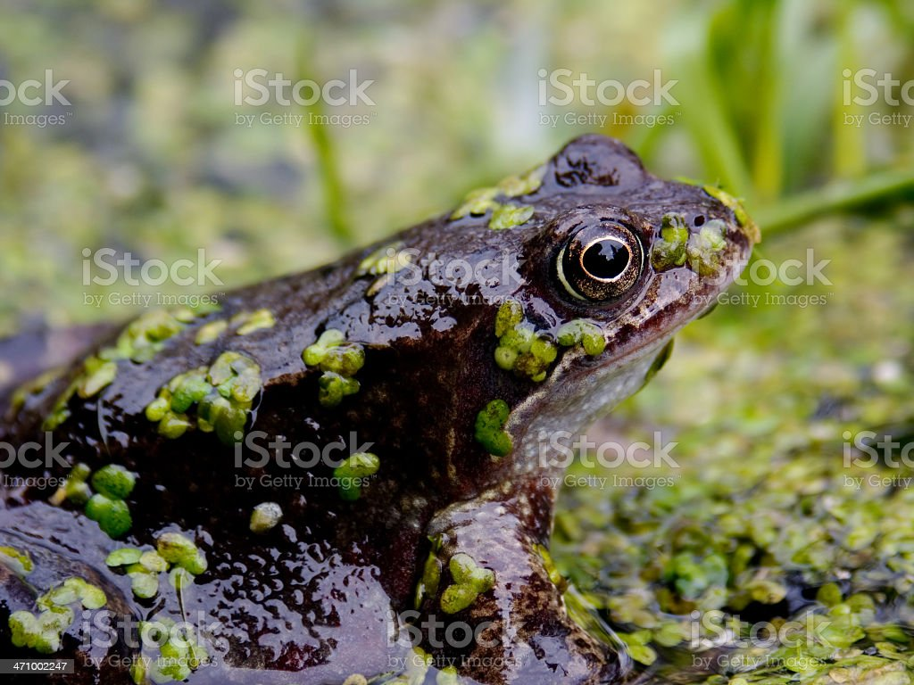 The Frog stock photo