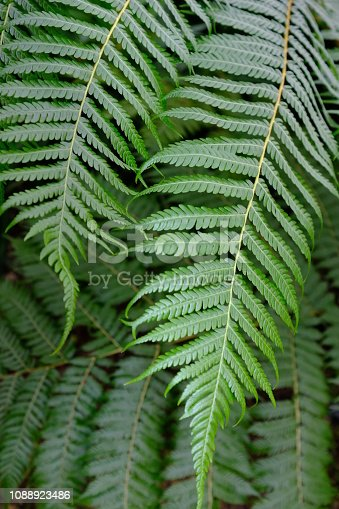 Berkshire, England - December 28, 2018: light catches the delicate leaves (known as fronds) of a tree fern.