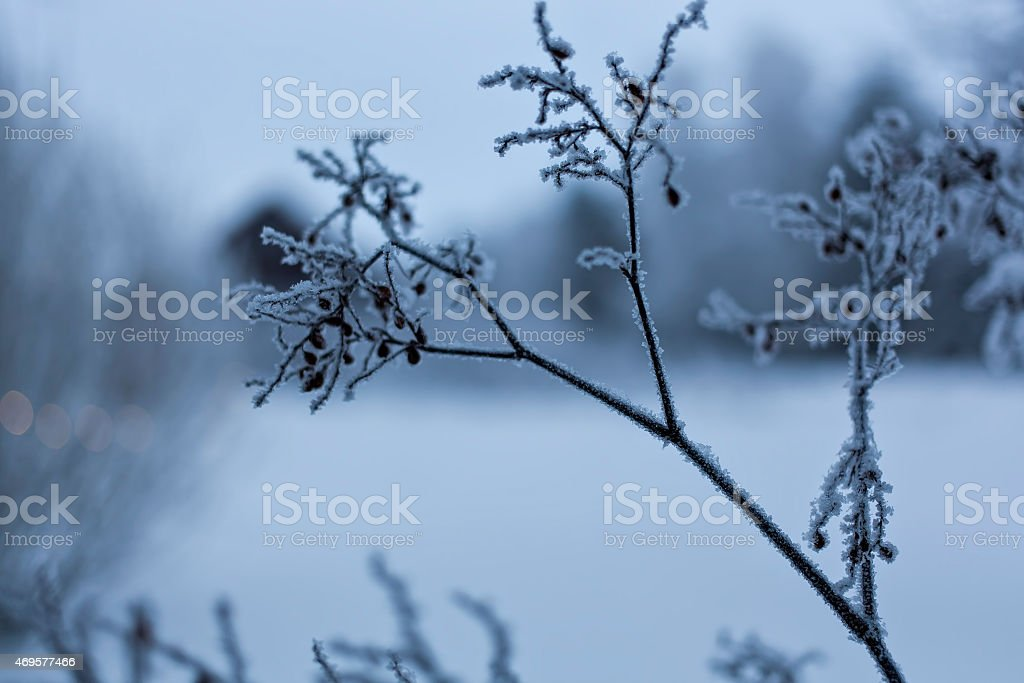 The frosty plant royalty-free stock photo