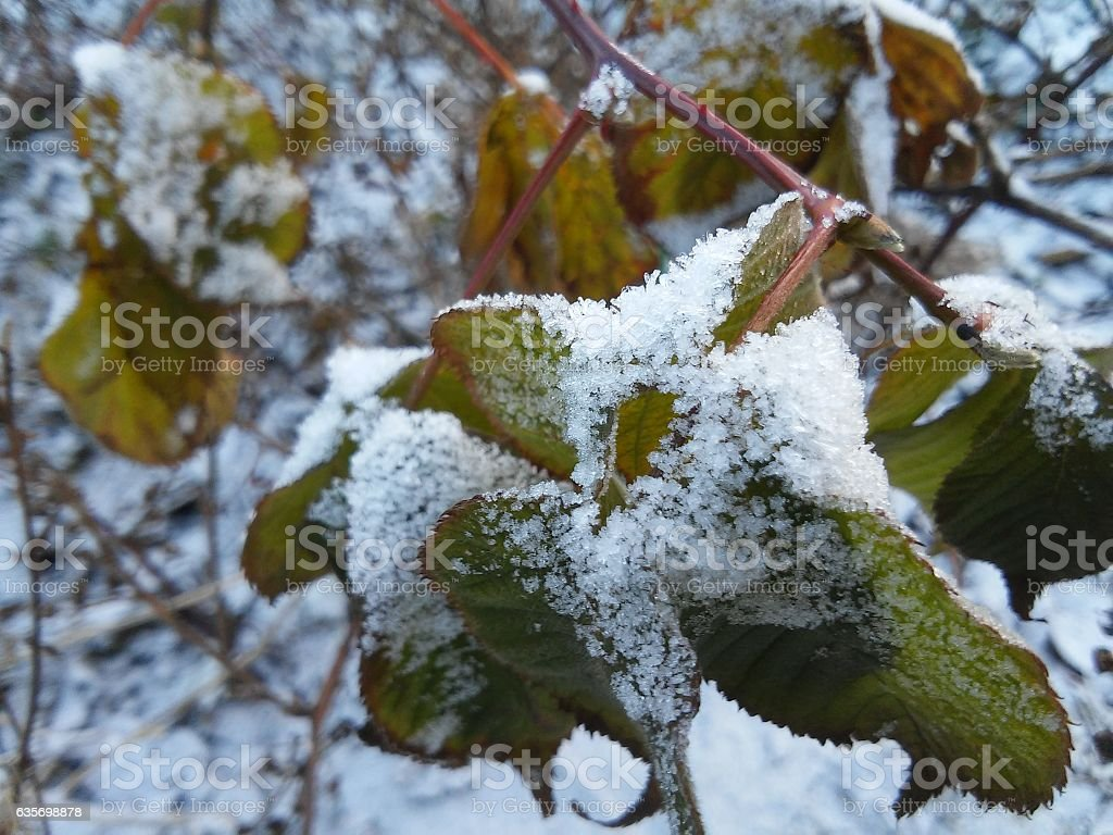 The frozen branch with leaves royalty-free stock photo