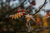 The frozen leaves of rowan at sunny autumn morning