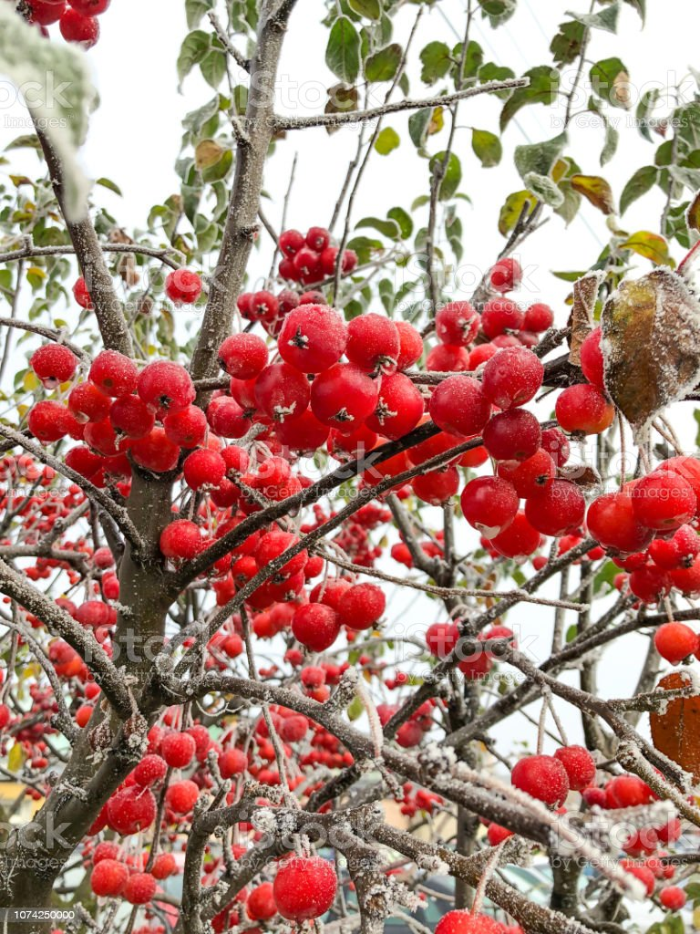 The Frozen Red Berries On A Tree Stock Photo Download Image Now