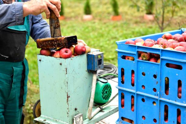 The fruit farmer crushing apples on a crush machine making  crushed apple stock photo