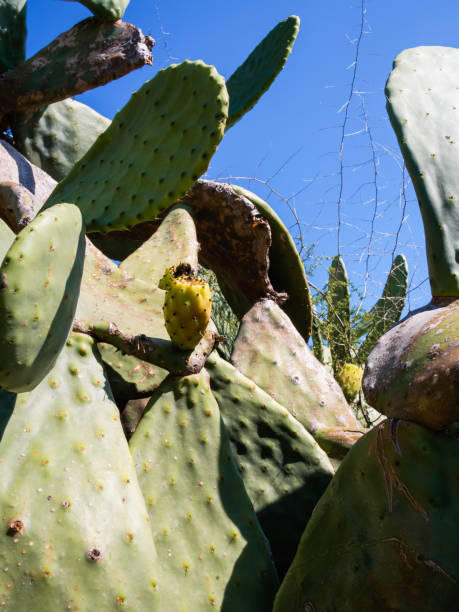 The fruit of the prickly pear - foto stock