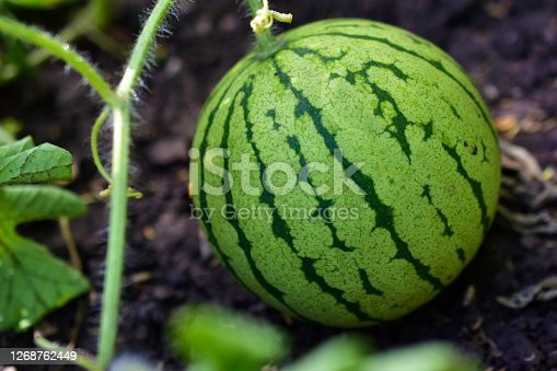istock The fruit of the watermelon stripes on the plantation in the summer 1268762449