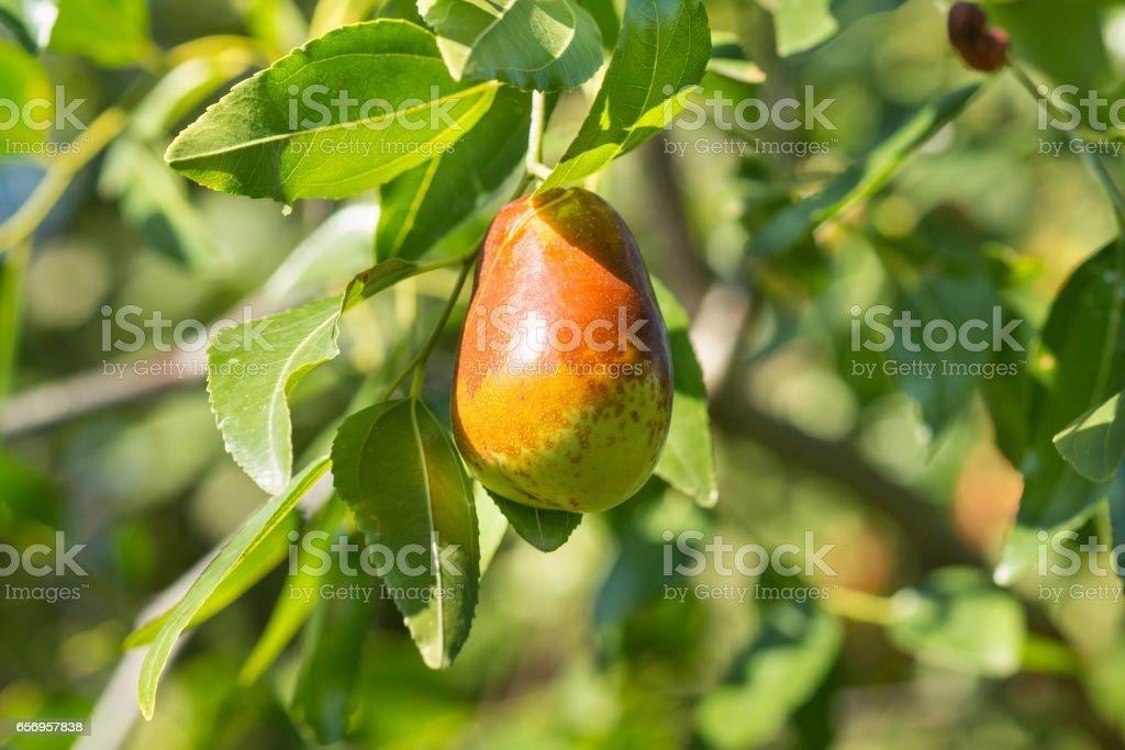 The fruit on the tree of jujube (lat. Ziziphus jujuba) stock photo