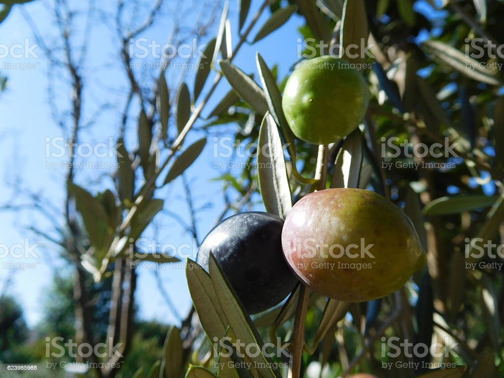 The fruits of olive under the blue sky stock photo