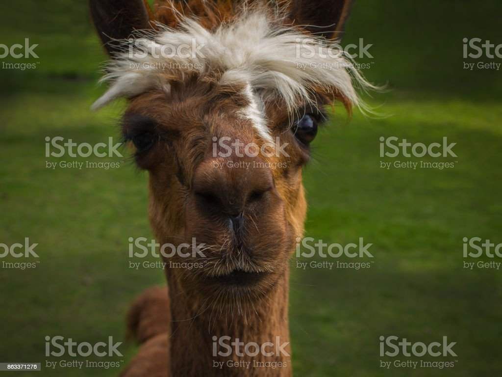 The funny curious brown alpaca with lock of hair stock photo