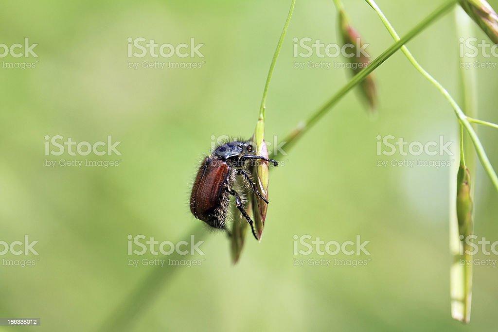 The garden foliage beetle stock photo