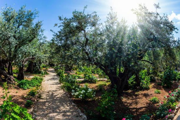 The Garden of Gethsemane in holy Jerusalem stock photo
