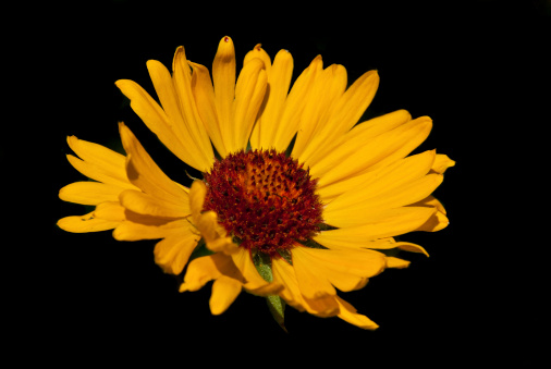 Yellow Blanketflower Stock Photo - Download Image Now