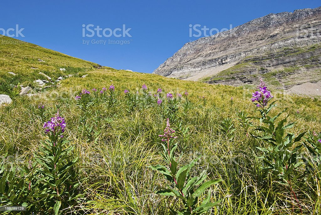 Meadow of Fireweed Below the Continental Divide royalty-free stock photo
