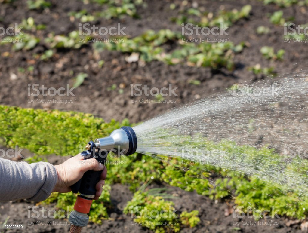 The gardener holds an irrigation hose and spray water in the garden. stock photo