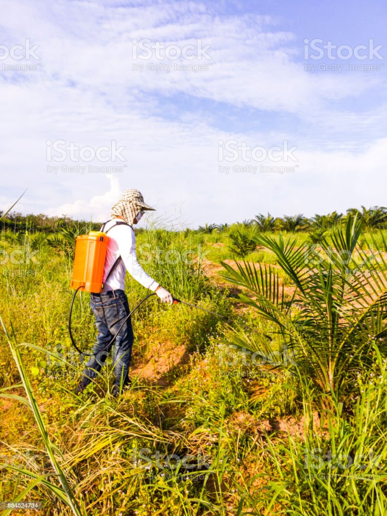 The gardener is spraying herbicides around the young palm tree to prevent them from nesting and eating young palm trees. stock photo