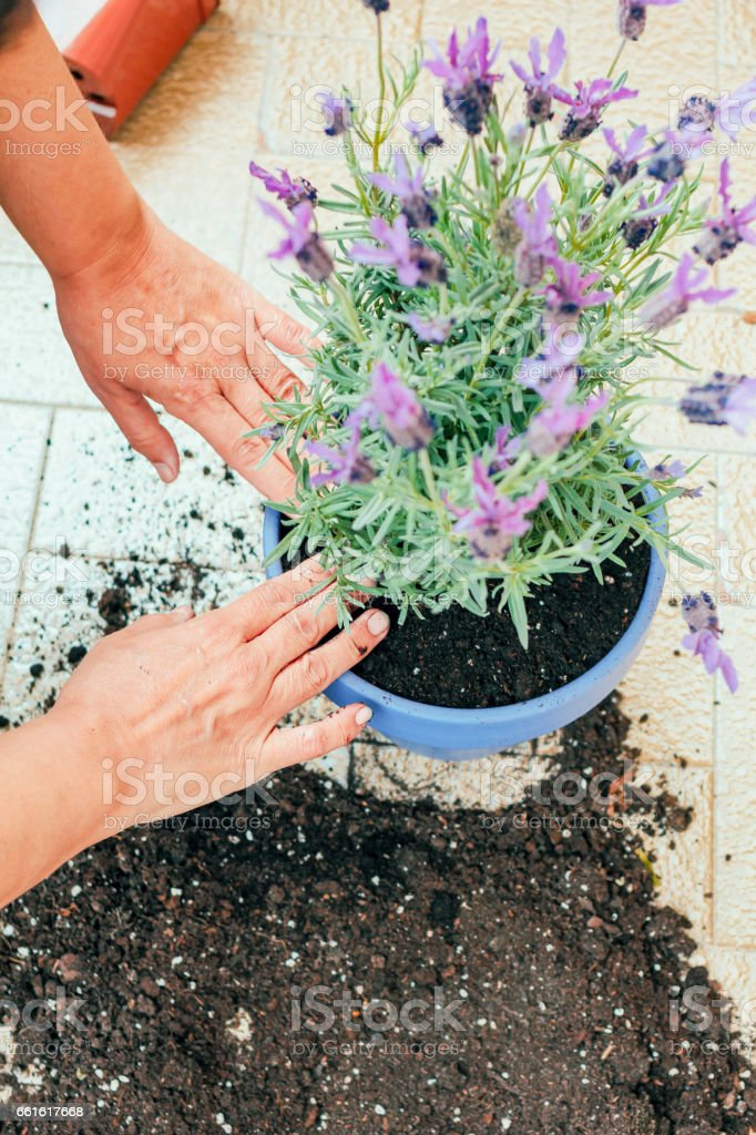 Hands of an unrecognizable person holding the flower for potting from...
