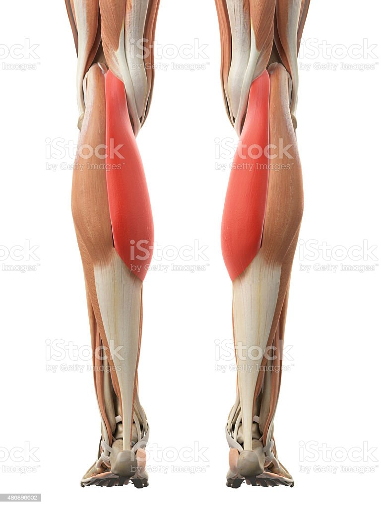 The Gastrocnemius Medial Head Stock Photo More Pictures Of 2015