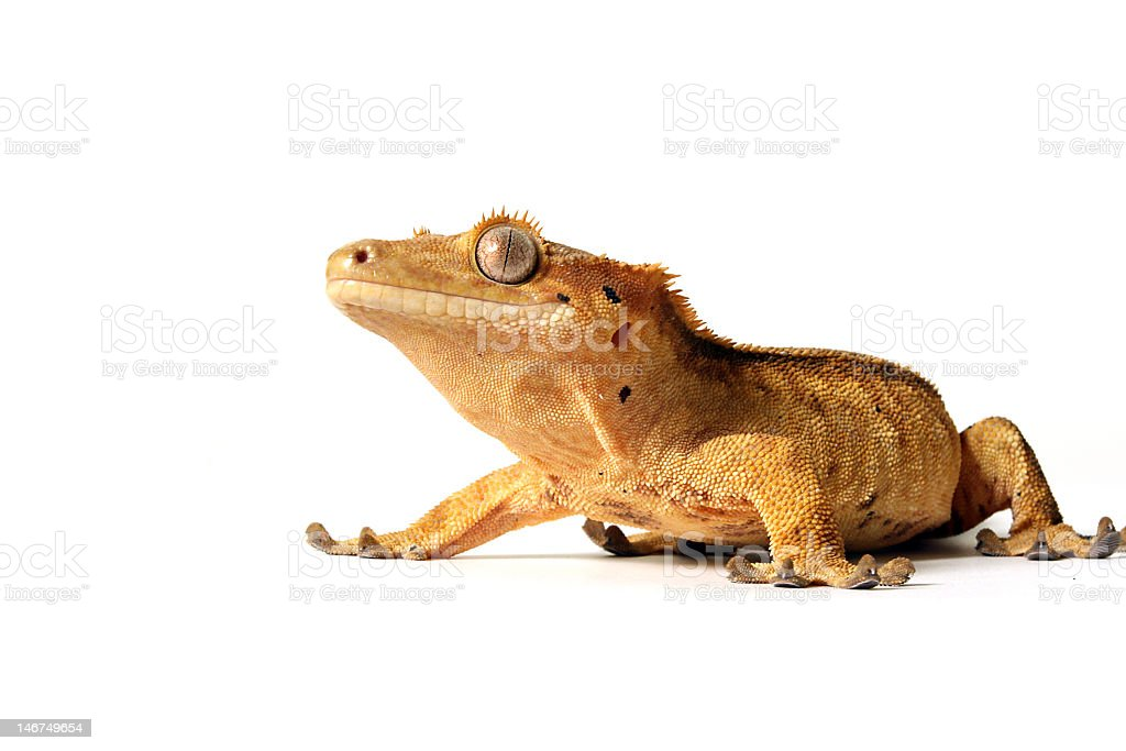 The Gecko royalty-free stock photo