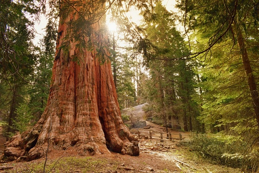 The General Grant tree, the largest giant sequoia. Sequoia & Kings Canyon National Parks, California USA.