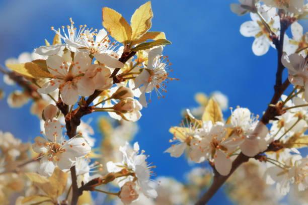 The gentle blossoming apple-tree with white colors against the background of the bright blue sky, a spring background, toning stock photo