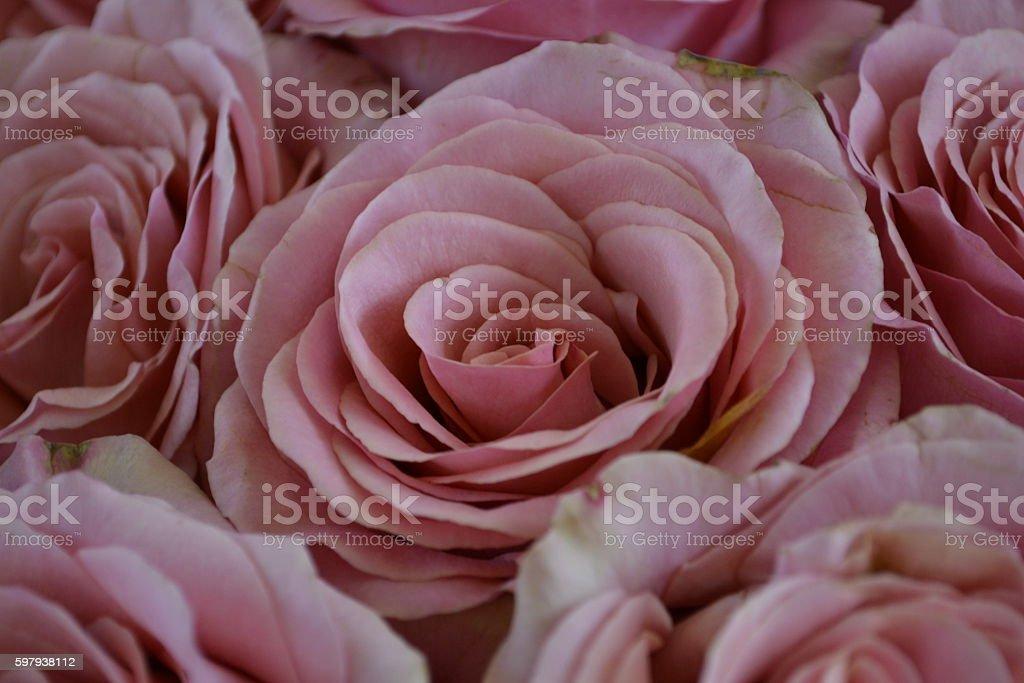 A rosa suave cor-de-rosa foto royalty-free