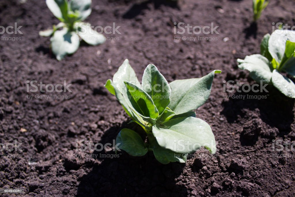 The germ of the bean in the garden stock photo