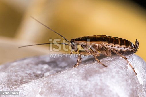 istock The German cockroach (Blattella germanica) 476531424