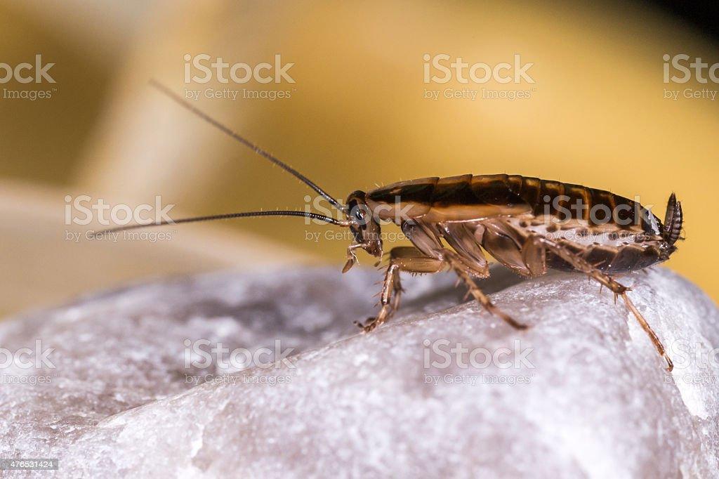 Blatta Tedesco (Blattella germanica) - foto stock