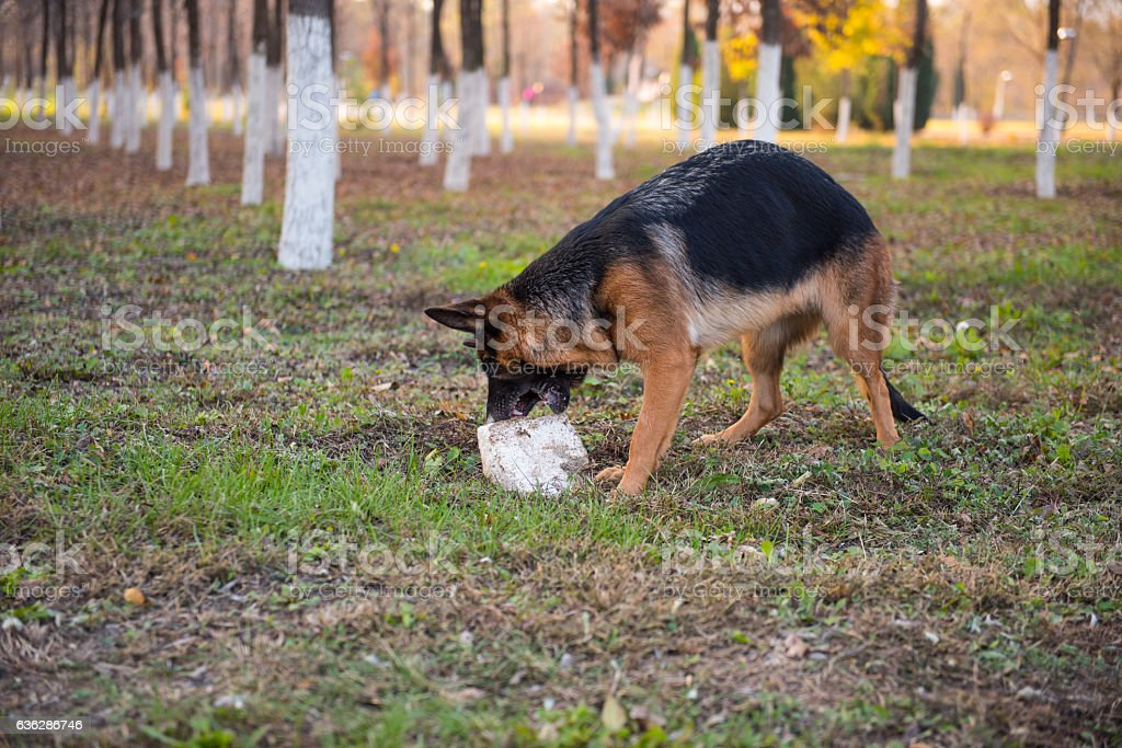 The German shepherd dog eating stone. stock photo