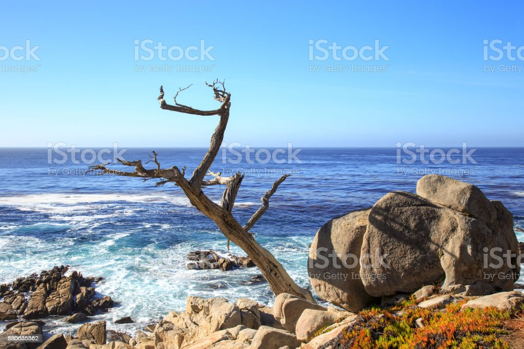 The ghost tree at 17-mile drive, Pebble beach California stock photo