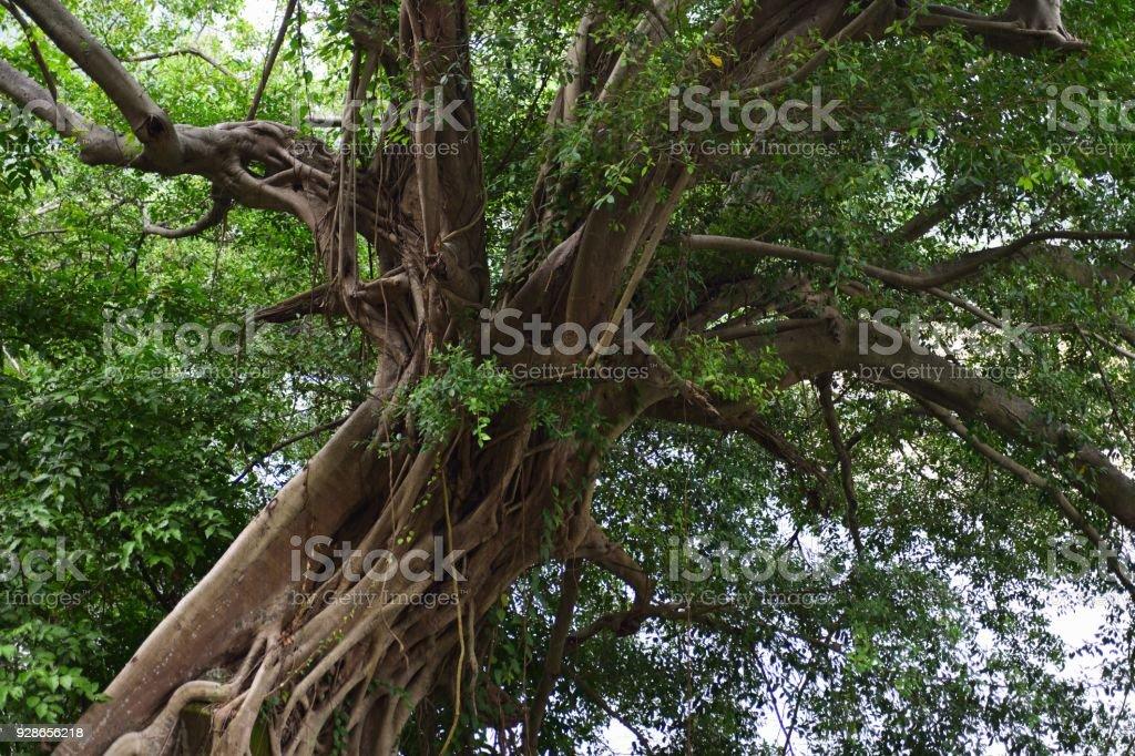 Die riesigen alten Banyan-Baum – Foto