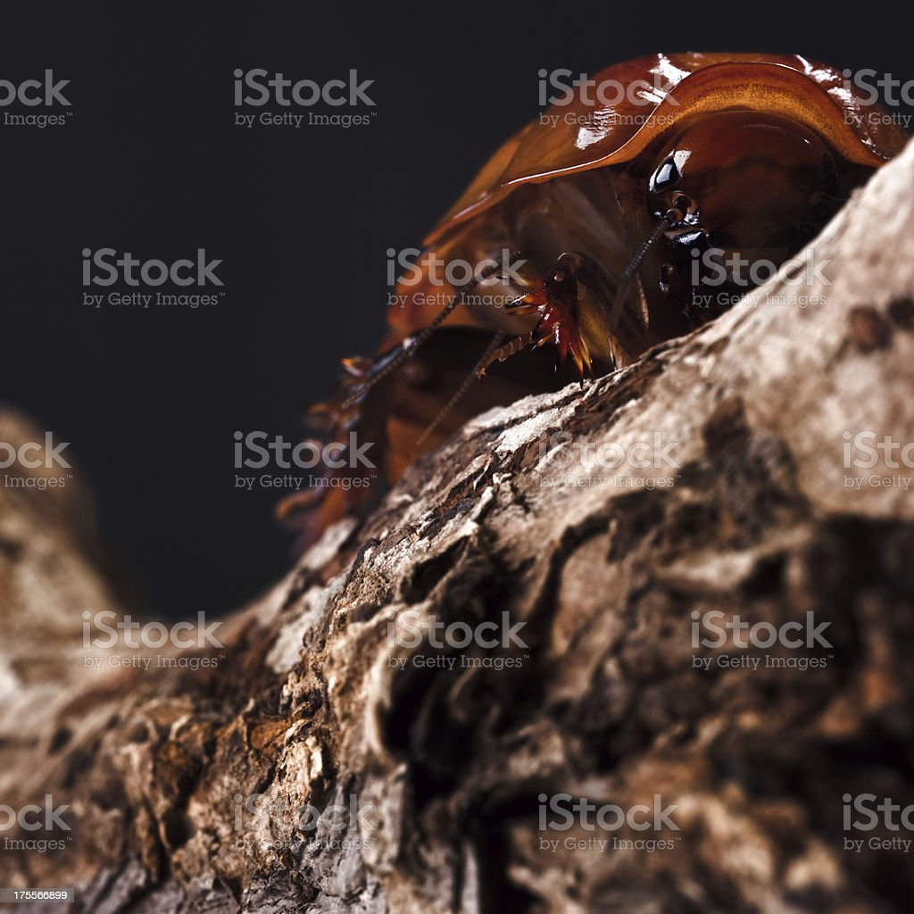 The Giant burrowing cockroach royalty-free stock photo