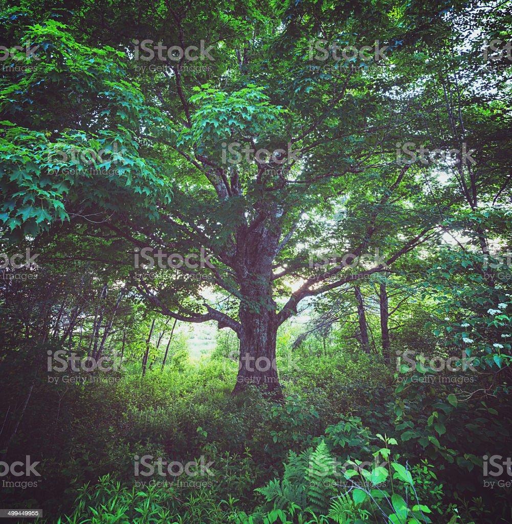 The Giant Elm stock photo