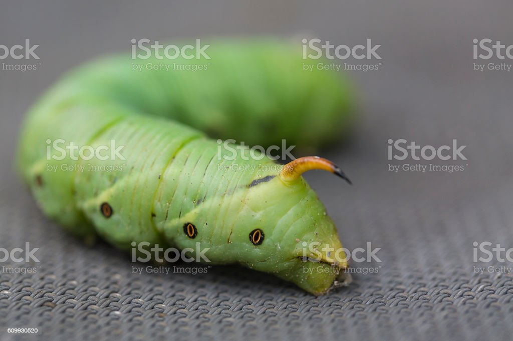 The giant green horned caterpillar close up stock photo