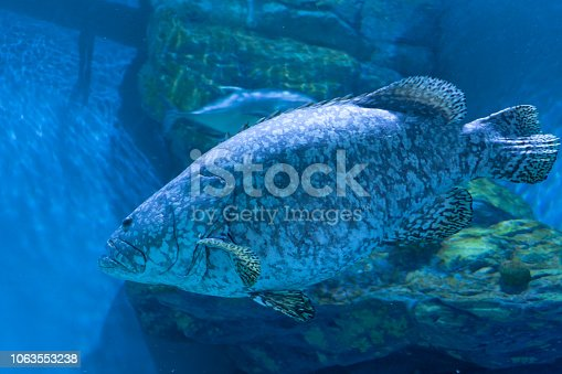 The Giant Grouper In Aquarium Stock Photo More Pictures Of Animal