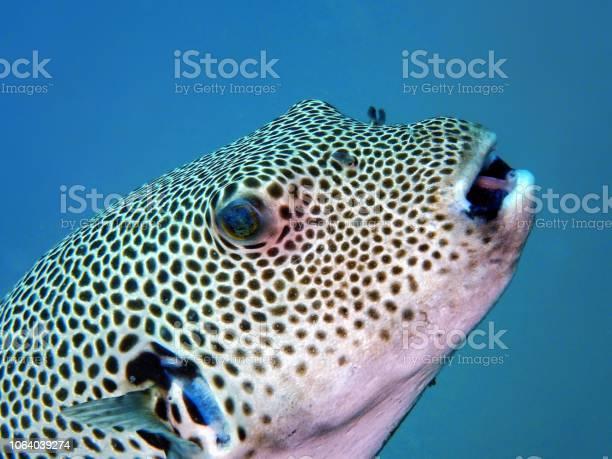 青で泳ぎ回る巨大なフグ - ウミウシのストックフォトや画像を多数ご ...