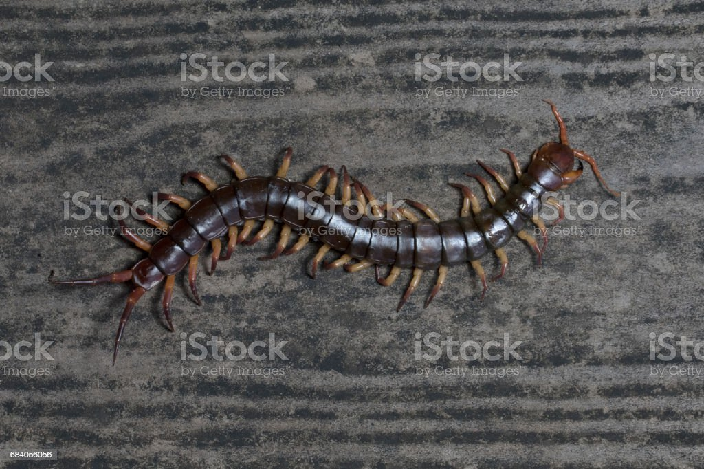 The Giant Red Centipede Dangerous Animal In The Garden Stock