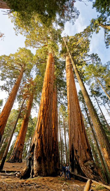 The Giant Sequoia in Kings Canyon National Park forest stock photo