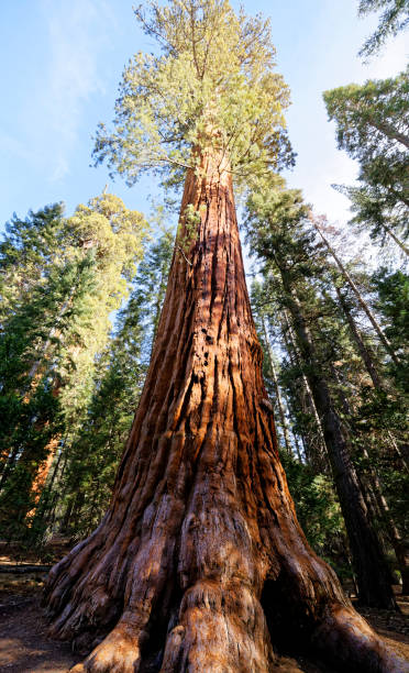 The Giant Sequoia in Kings Canyon National Park stock photo