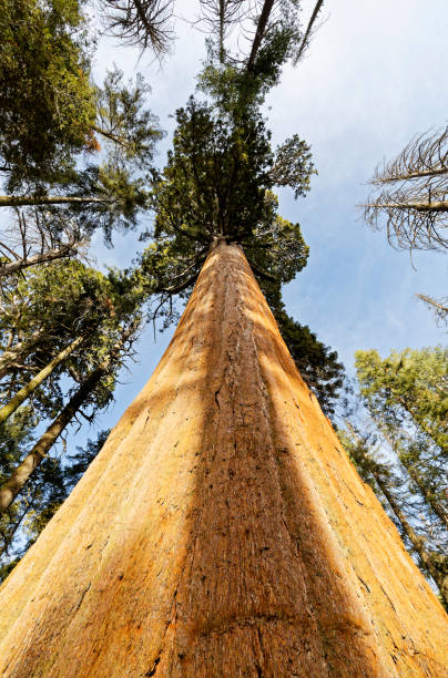 The Giant Sequoia in Kings Canyon National Park up close stock photo
