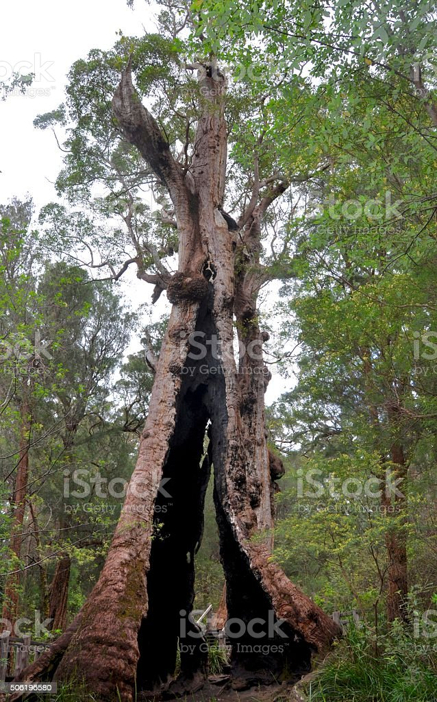 The Giant Tingle Tree stock photo