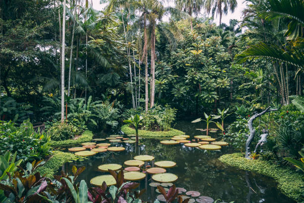 The giant water lily in the botanical garden stock photo