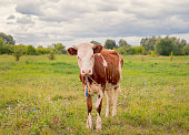 The ginger animal grazes in the pasture. Bull, calf, cow, livestock. Symbol of 2021.
