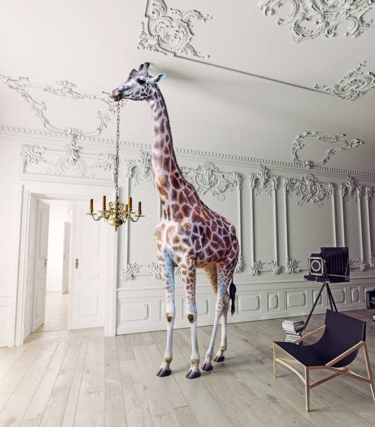 the giraffe hold the chandelier - giraffe stock photos and pictures