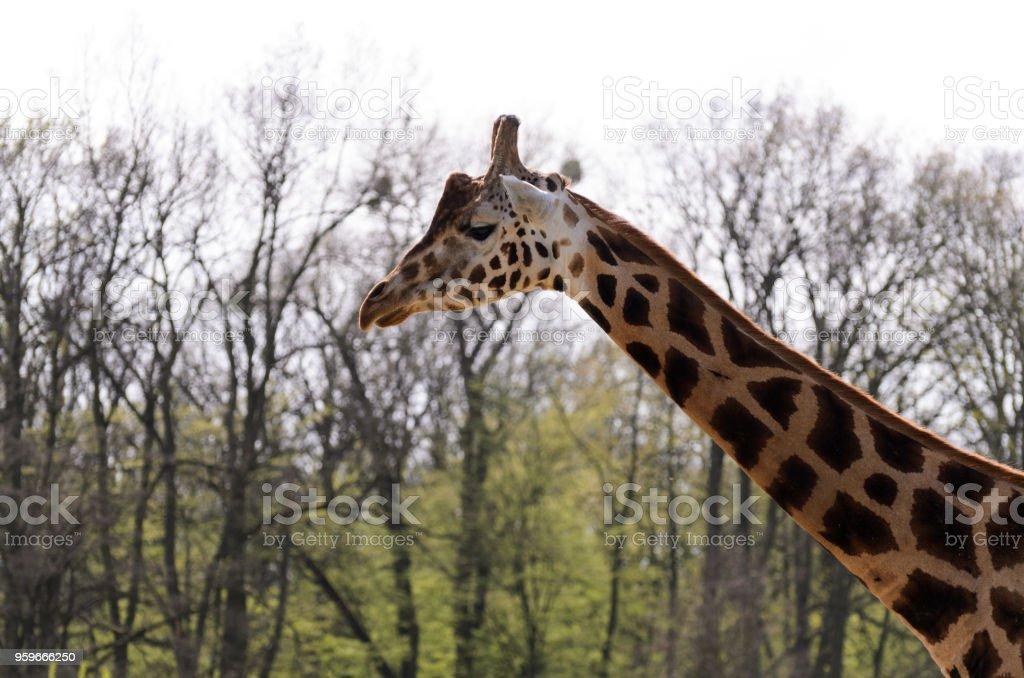 La jirafa recorre la pasarela fuera en un día soleado. - Foto de stock de Alto - Descripción física libre de derechos