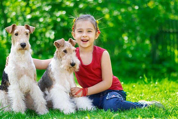 The girl and two fox terriers stock photo