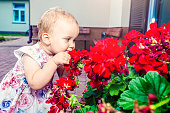 The girl is smelling red geraniums